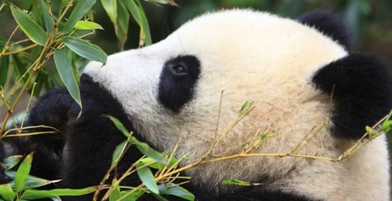 A este restaurante le va mejor cuando… ¿los pandas tienen sexo?