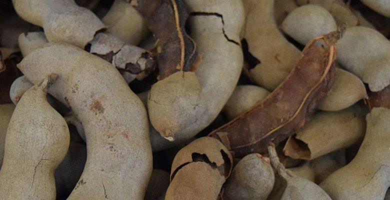 Científicos mexicanos crean unicel biodegradable con tamarindo