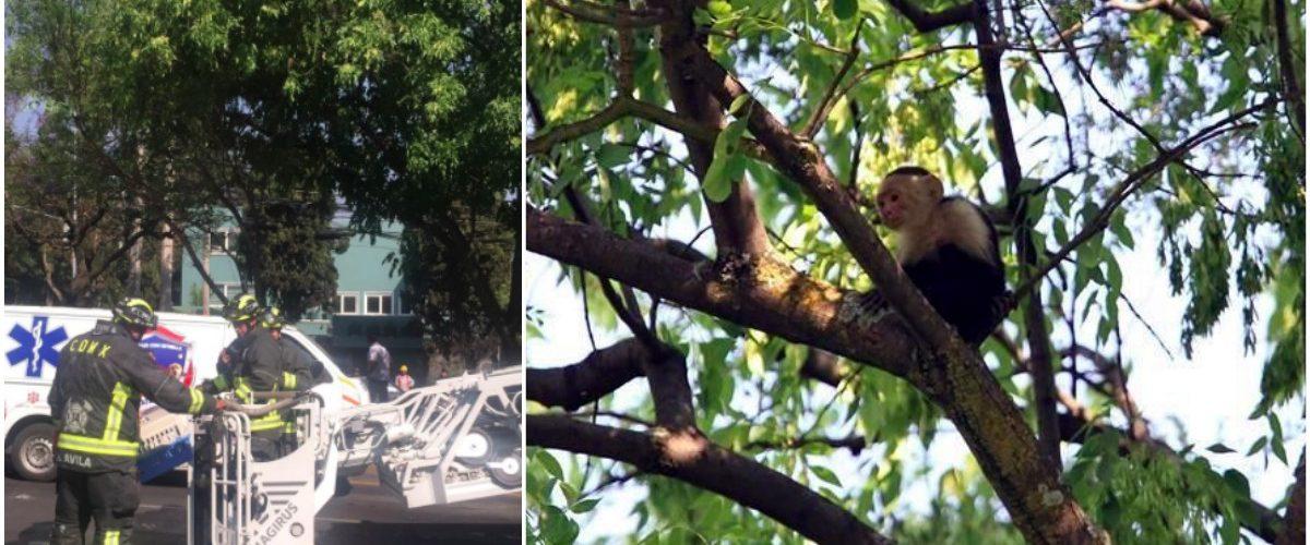 #EnFuga El intento de rescate de este mono está poniendo de cabeza a la CDMX