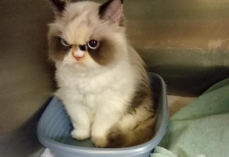 Aparece una gatita más gruñona que Grumpy Cat y conquista las redes