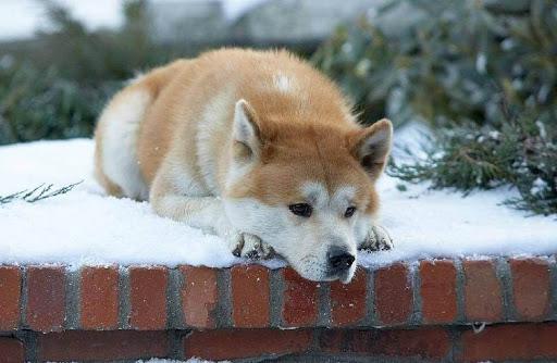 Cosas que quizá no sabías de Hachiko, el perro más fiel