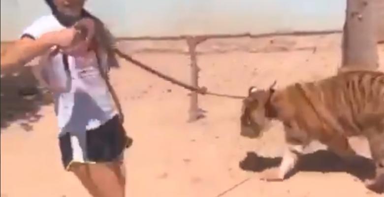 Joven pasea a su tigre como si fuera un perro en Sinaloa